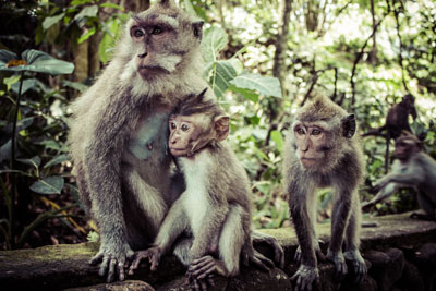 alas kedaton monkey forest tabanan bali indonesia